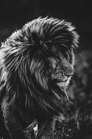 Скачать картинку лев на телефон на главный экран - лучшая сборка 9