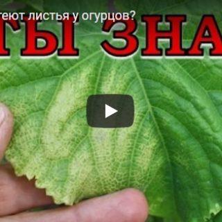 Видео, в котором рассказывается почему желтеют листья у огурцов