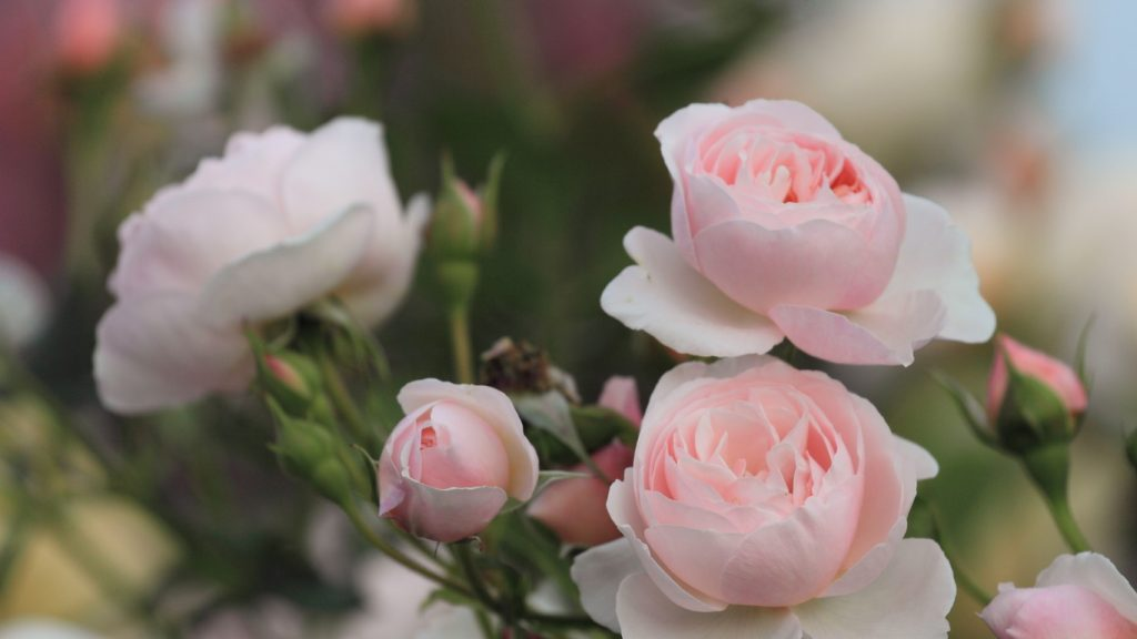 Красивые картинки роз на весь экран на рабочий стол - подборка 11