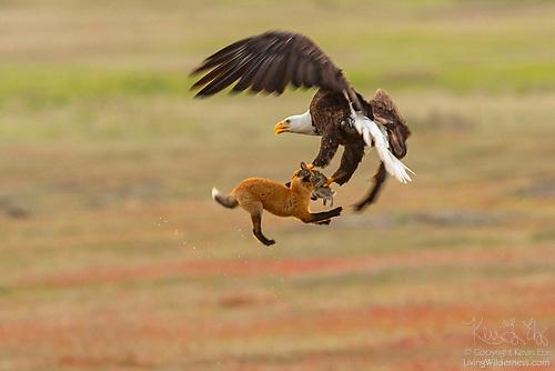 Орел отобрал кролика, которого до этого поймала лисица - новости 3
