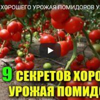 9 секретов отличного урожая помидоров, которые нужно знать - видео