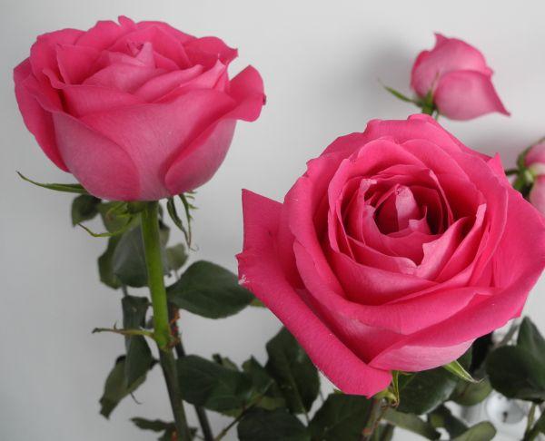 Как вырастить розы в домашних условиях - посадка и уход 1