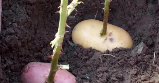 Как вырастить розы в домашних условиях - посадка и уход 2