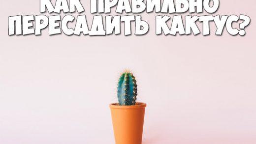 Как правильно пересадить кактус в домашних условиях - важные советы 1