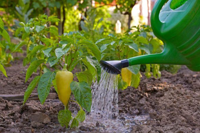 Как правильно поливать перец в теплице, уход за растением 2