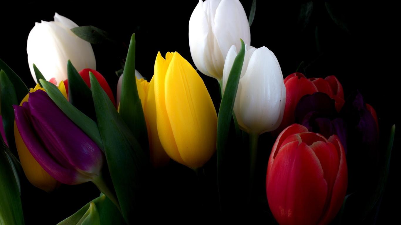Красивые картинки на рабочий стол тюльпаны - подборка 12
