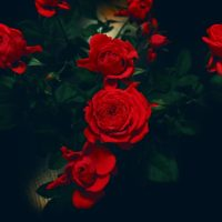 Красивые обои розы на рабочий стол - интересная коллекция 12