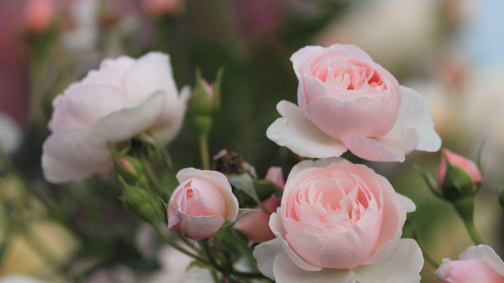 Красивые обои розы на рабочий стол - интересная коллекция 8