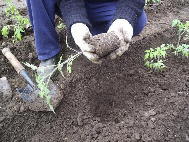 Основные особенности посадки томатов - уход и посадка растения 3