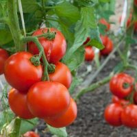 Основные особенности посадки томатов - уход и посадка растения 4