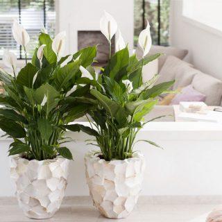 7 лучших комнатных растений для очищения воздуха в помещении 4