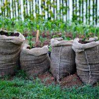 Как выращивать картофель в мешках в саду - основные способы 2