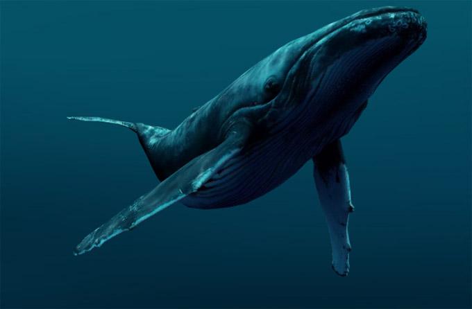 Киты - фотографии китов. Удивительные и красивые фото китов 12