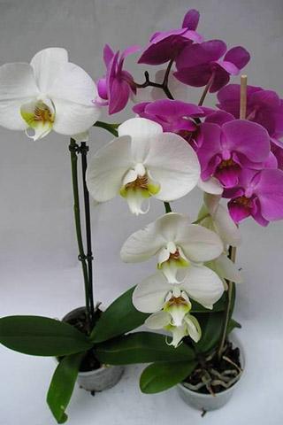Орхидеи красивые картинки на телефон на заставку - подборка 20 фото 12