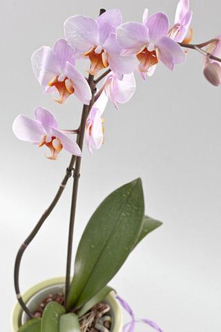 Орхидеи красивые картинки на телефон на заставку - подборка 20 фото 20