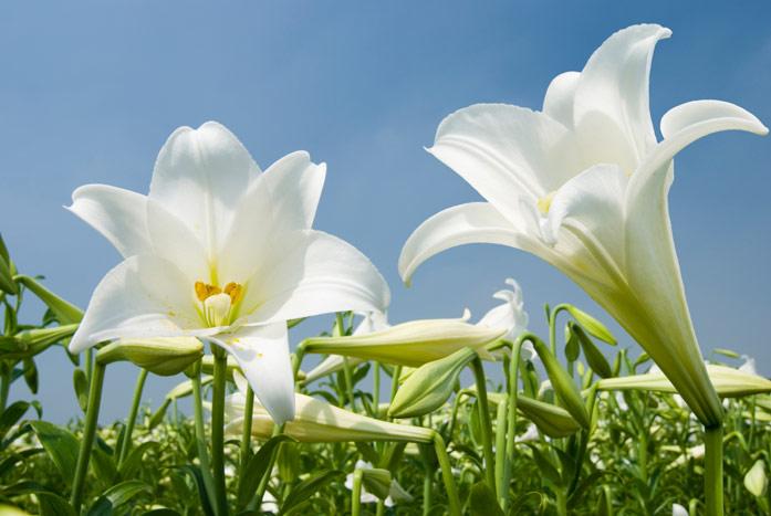 Очень красивые и прекрасные картинки, фото Белая лилия - подборка 13