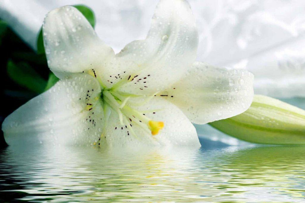 Очень красивые и прекрасные картинки, фото Белая лилия - подборка 15