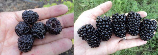 Чем отличается черная малина и ежевика - главные отличия 1