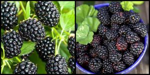 Чем отличается черная малина и ежевика - главные отличия 3