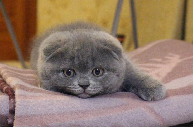 Как кормить шотландского вислоухого котенка - какую еду выбрать 2