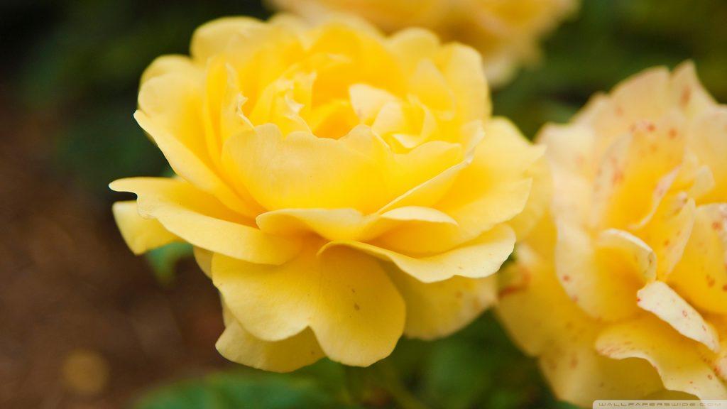 Удивительные картинки на рабочий стол Желтые розы - подборка 1