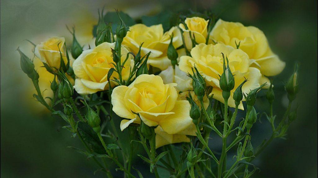 Удивительные картинки на рабочий стол Желтые розы - подборка 11