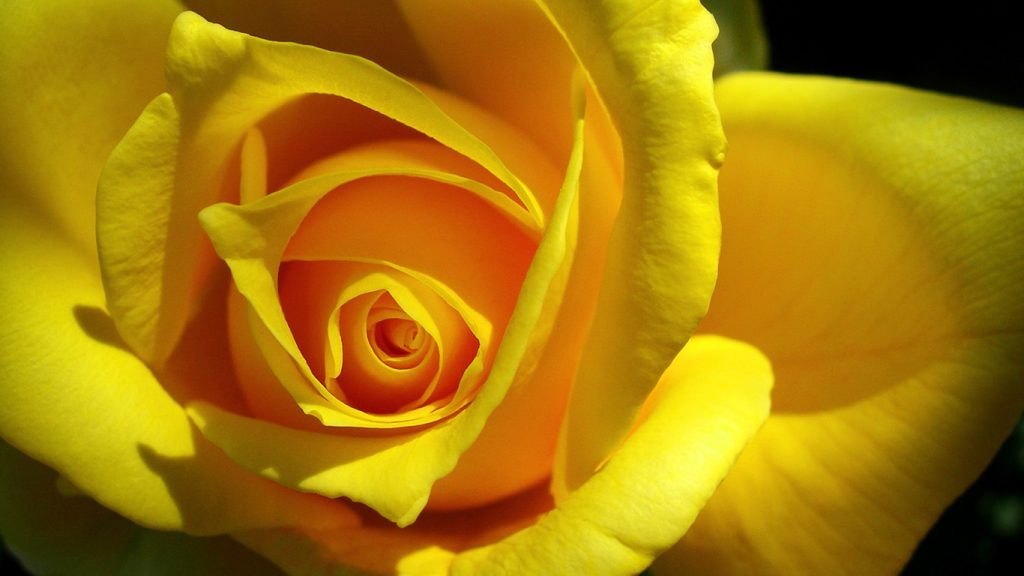 Удивительные картинки на рабочий стол Желтые розы - подборка 12