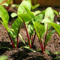 Как вырастить столовую свёклу на огороде - основные рекомендации 1