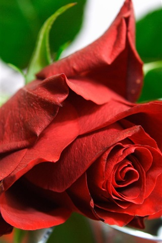 Красивые и милые картинки, обои розы для заставки телефона - сборка 13