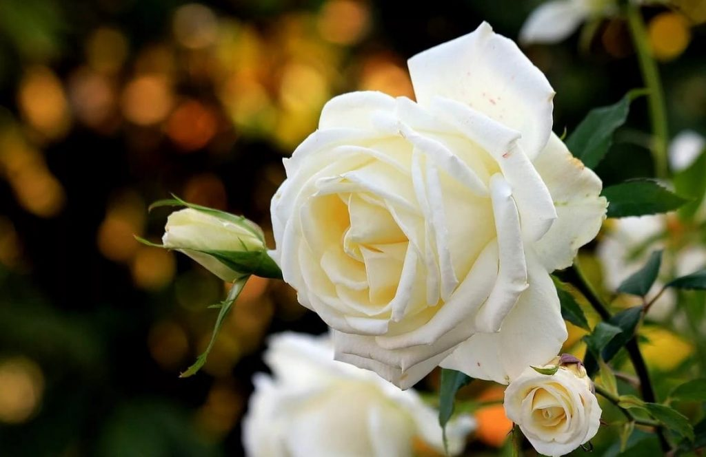 Красивые картинки цветов белые розы, удивительные букеты 10