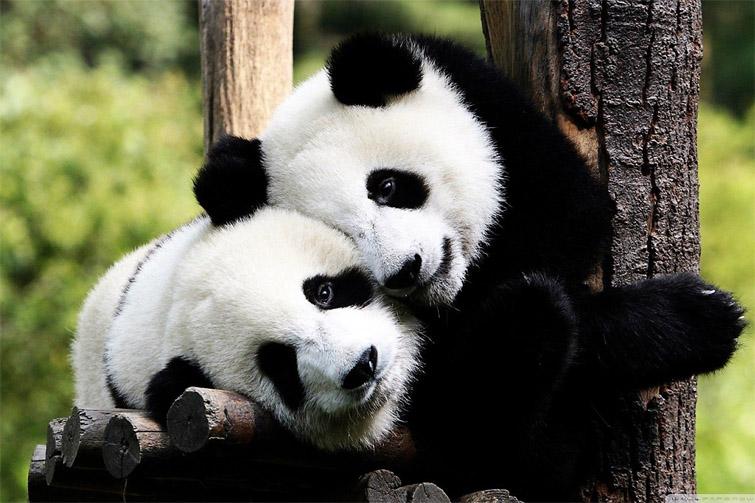 Панды очень красивые и прикольные картинки, арты, фото - подборка 3