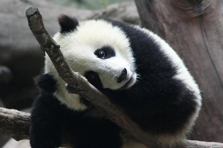 Панды очень красивые и прикольные картинки, арты, фото - подборка 6