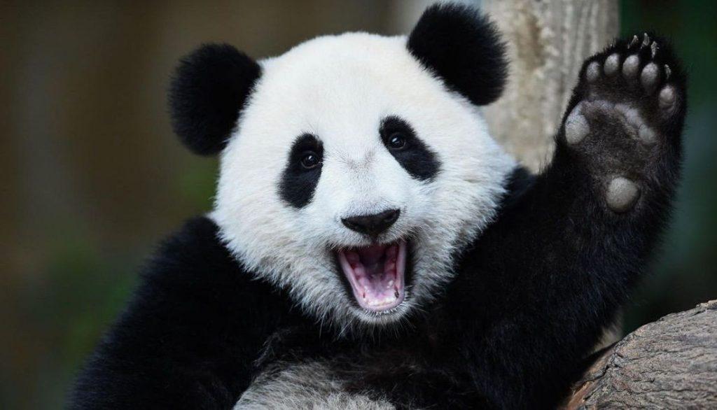 Панды очень красивые и прикольные картинки, арты, фото - подборка 9