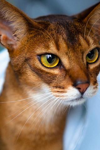 Абиссинская кошка - красивые обои для заставки телефона 1