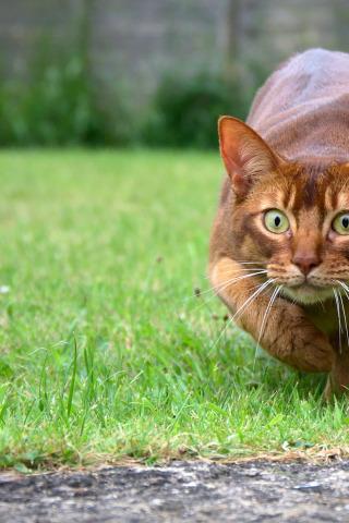 Абиссинская кошка - красивые обои для заставки телефона 10