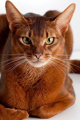 Абиссинская кошка - красивые обои для заставки телефона 11