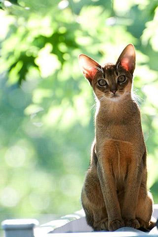 Абиссинская кошка - красивые обои для заставки телефона 7
