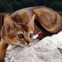 Абиссинская кошка - красивые обои для заставки телефона 8