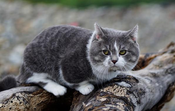 Красивые Манчкин кошки с маленькими лапками - обои, картинки 14