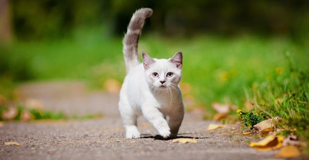 Красивые Манчкин кошки с маленькими лапками - обои, картинки 2