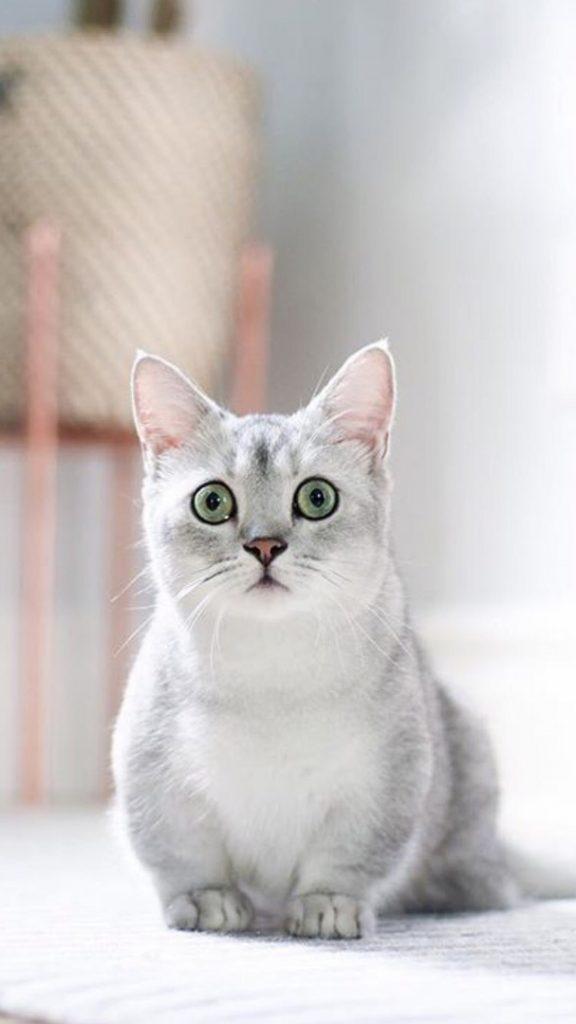Красивые Манчкин кошки с маленькими лапками - обои, картинки 3