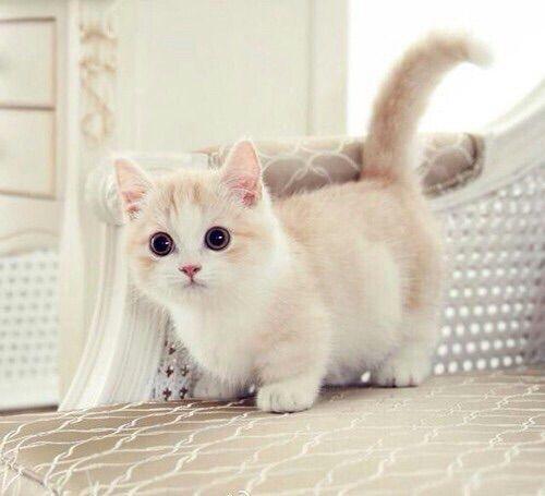 Красивые Манчкин кошки с маленькими лапками - обои, картинки 4