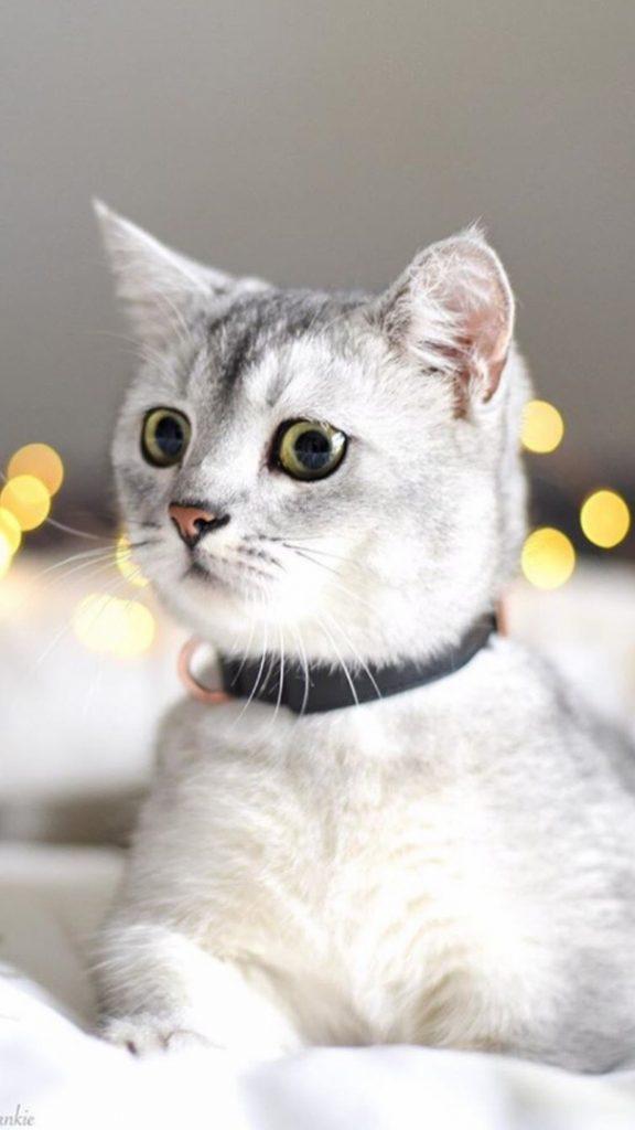 Красивые Манчкин кошки с маленькими лапками - обои, картинки 6
