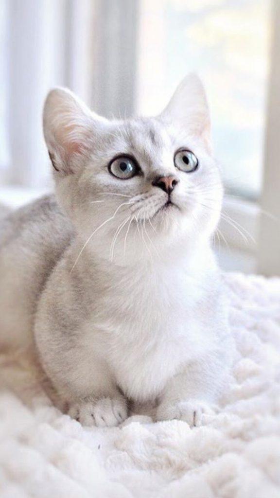 Красивые Манчкин кошки с маленькими лапками - обои, картинки 9