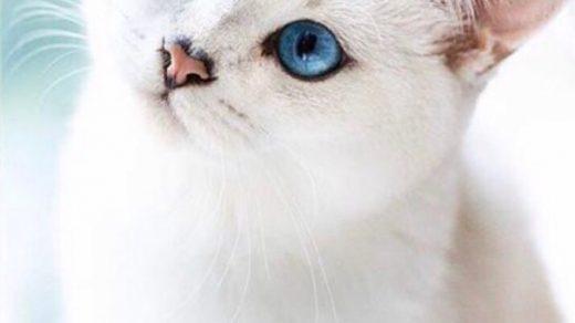 Красивые и невероятные кошки, котики Као мани - картинки, фото 5