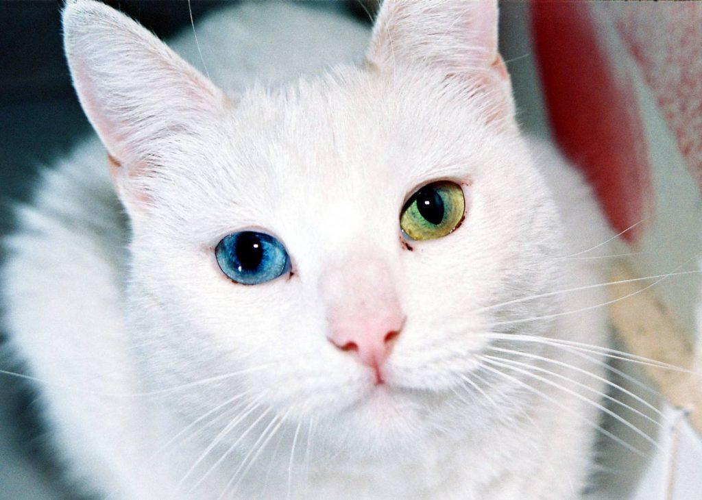 Красивые и невероятные кошки, котики Као мани - картинки, фото 7