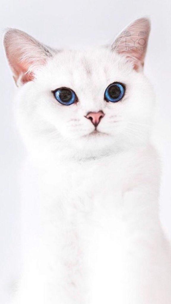 Красивые и невероятные кошки, котики Као мани - картинки, фото 8