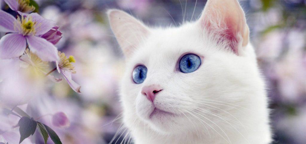 Красивые и невероятные кошки, котики Као мани - картинки, фото 9