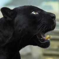Красивые обои на рабочий стол Пантера - необычные фото животного 1