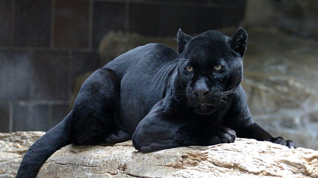 Красивые обои на рабочий стол Пантера - необычные фото животного 12